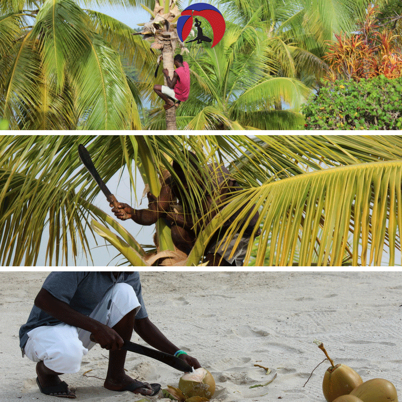 person man climbing tree to get a coconut, eat coconut, coconut milk, eat from the earth, haitian food, haiti, machete, coco loco