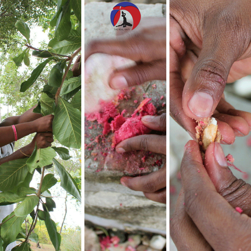 haiti, haitian nature, pick almond from tree, zanmann tree, natural foods, organic food island, caribbean